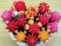 Гимнокалициум. Домашний кактус