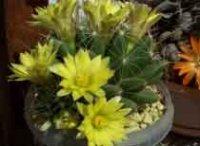 Долихотеле. Комнатные кактусы