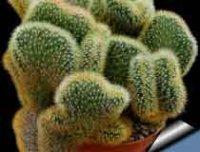 Клейстокактус. Комнатное растение