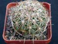 Корифанта. Комнатный кактус