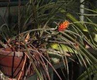 Акантостахис. Комнатное растение