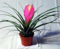 Тилландсия. Комнатный цветок