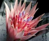 Эхмея или Лампрококкус. Многолетний цветок