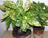 Аукуба. Многолетнее растение