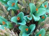 Питкерния. Комнатные цветы