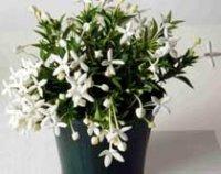 Бувардия. Многолетний цветок