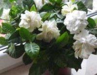 Гардения. Многолетний комнатный цветок