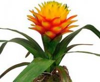 Бромелия. Комнатный цветок