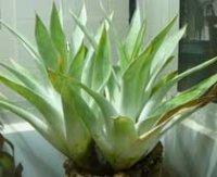 Катопсис. Многолетнее комнатное растение
