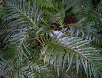 Аглаоморфа. Комнатное декоративное растение