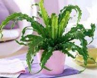 Асплениум или Костенец. Декоративное растение
