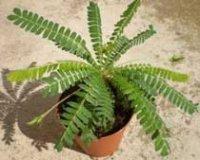 Биофитум. Многолетнее комнатное растение