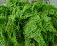 Дидимохлена. Вечнозеленый комнатный папоротник