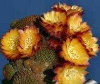 Лобивия. Домашний комнатный кактус