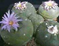 Лофофора или Пейотль. Домашние кактусы