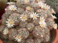Маммилярия. Комнатные домашние кактусы