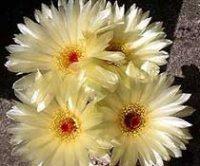 Нотокактус. Домашние комнатные кактусы