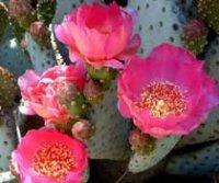 Опунция. Комнатные домашние кактусы