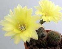Псевдолобивия. Комнатные кактусы