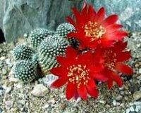 Ребуция или Айлостера. Домашние кактусы