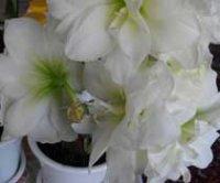Гиппеаструм. Комнатный цветок