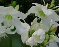 Эухарис крупноцветковый или Амазонский нарцисс