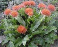 Гемантус, Кровавый цветок или Олений язык