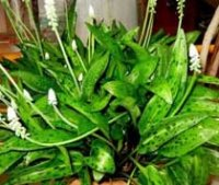 Дримиопсис. Комнатное луковичное растение