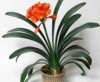 Кливия. Комнатный луковичный цветок