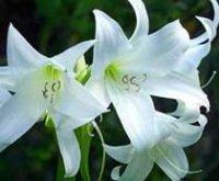 Кринум или Розовая лилия. Домашний цветок