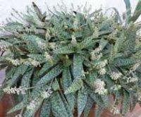 Ледебурия или Сцилла. Комнатные цветы