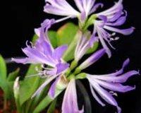 Гриффиния. Многолетний комнатный цветок