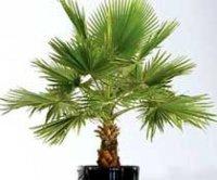 Вашингтония. Пальмовое растение