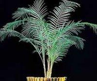Литокариум или Кокосовая пальма