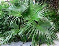 Ливистона или Латания. Пальмовое растение