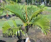 Микроцелюм или Кокосовая пальма