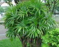 Рапис. Бамбуковое пальмовое растение