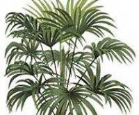 Трахикарпус. Пальмовое растение