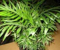 Хамедорея, Неанта, Коллиния или бамбуковая пальма