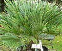 Хамеропс. Кустарниковая пальма