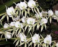 Орхидея Ангрекум. Комнатные цветы