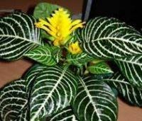Афеландра или Афеляндра. Комнатные цветы