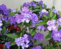 Брунфельсия или Брунфелзия. Комнатные цветы