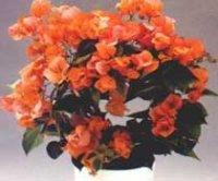 Бугенвиллия комнатная. Декоративный цветок