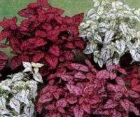 Гипоэстес. Домашнее растение