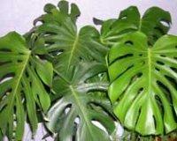 Монстера. Комнатное растение
