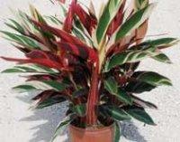 Строманта. Декоративное домашнее растение