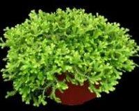 Селагинелла. Многолетнее комнатное растение
