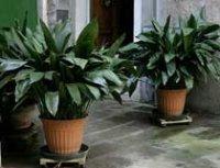 Аспидистра высокая, Пальма мясников или Чугунное растение