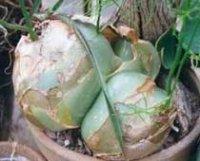 Бауэя или Вьющаяся луковица